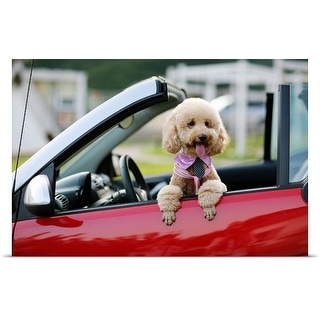 Poster Print entitled Poodle sitting in the passenger-side  of a red car