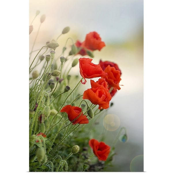 """""""Flanders poppy with sun flare."""" Poster Print"""