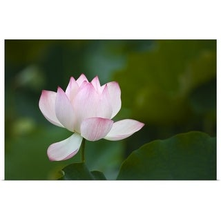 """Close-up of a pink water lily"" Poster Print"