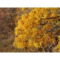 Yellow Tree Photograph Wall Art Canvas