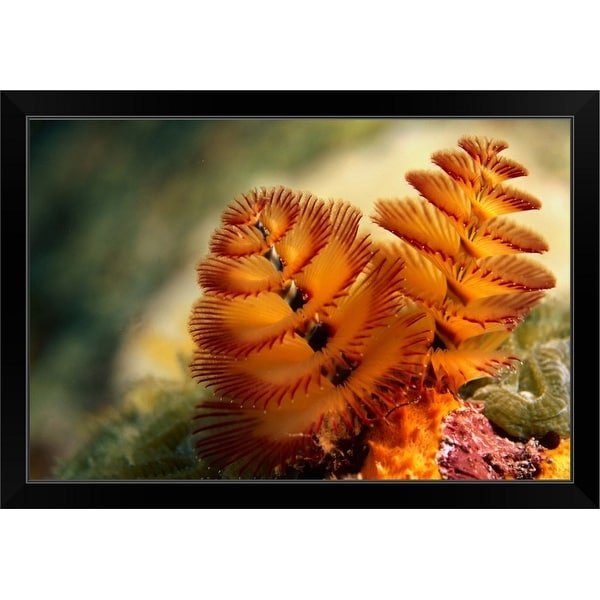 """""""The elegant twin spiral radioles of the Christmas tree worm"""" Black Framed Print"""