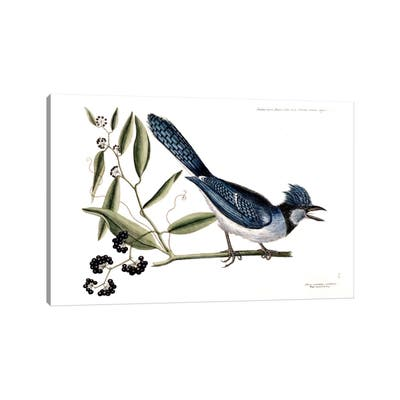"""iCanvas """"Blue Jay & Bay-Leaved Smilax"""" by Mark Catesby Canvas Print"""