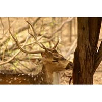 Deer With Antlers Photograph Wall Art Canvas