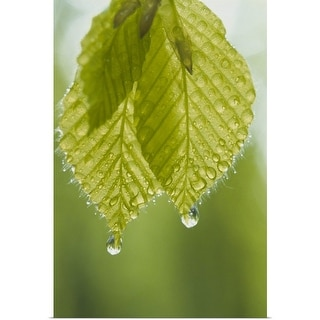 """Dew drops on leaves"" Poster Print"