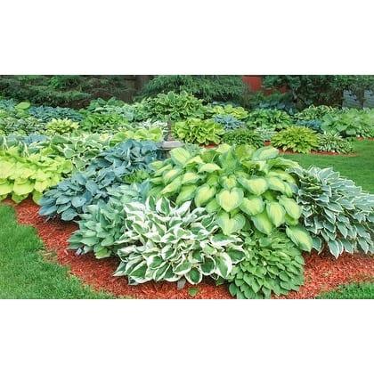 Heart Shaped Hosta - 9 Bare Root Plants