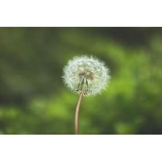 Dandelion Plant Photograph Art Print