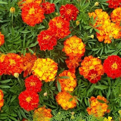 Merry Marigolds Seeded Flower Mat - 2 Pack and Garden Shovel