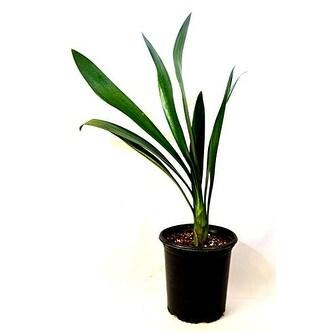 9GreenBox - Good Hope Clivia Plant - 1 Gallon