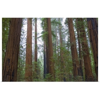 """Redwood Trees"" Poster Print"