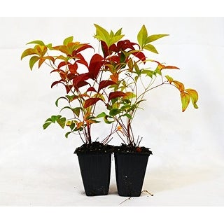 9GreenBox - Nandina Domestica Fire Power 'Heavenly Bamboo' - 2 Pack