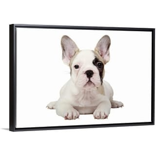 """""""Fawn Pied French Bulldog puppy on white background."""" Black Float Frame Canvas Art"""