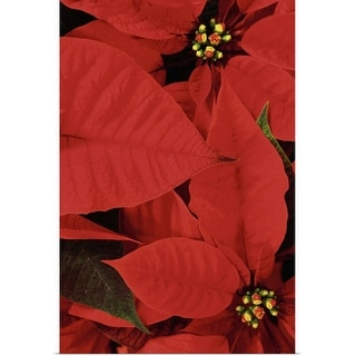 """Poinsettia Close-Up"" Poster Print"