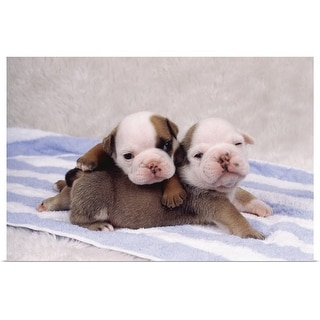 """""""Two bulldog puppies on towel"""" Poster Print"""