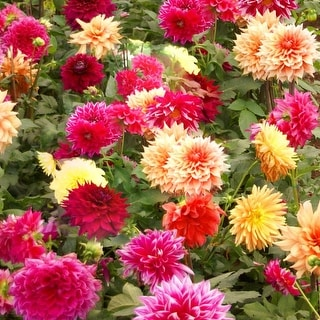 Mixed Dahlia Pre-Seeded Flower Mat with Soil & Plant Food