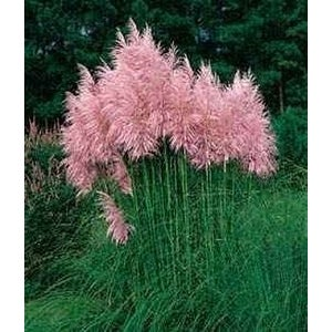 "Pink Pampas Ornamental Grass - C. selloana rosea- 4"" plant"