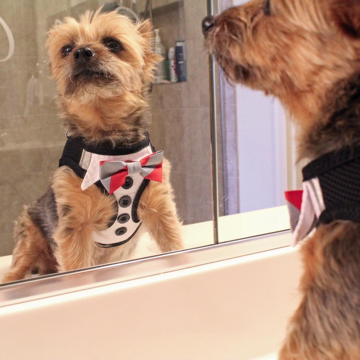 American River Ultra Choke Free Dog Harness (Tuxedo with 4 Interchangeable Bows - Medium)
