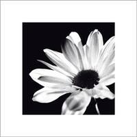 ''Chrysanthemum'' by Michael Banks Floral Art Print (15.75 x 15.75 in.)