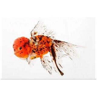 """Calico lionhead goldfish (Carassius auratus). Hooded variety of fancy goldfish"" Poster Print"