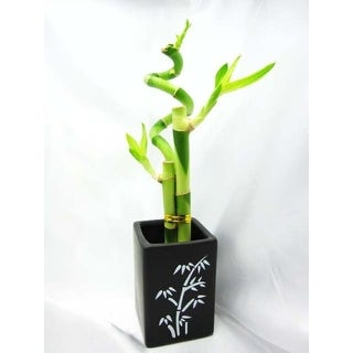 9GreenBox - Lucky 'Bamboo' Spiral Style with Ceramic Vase