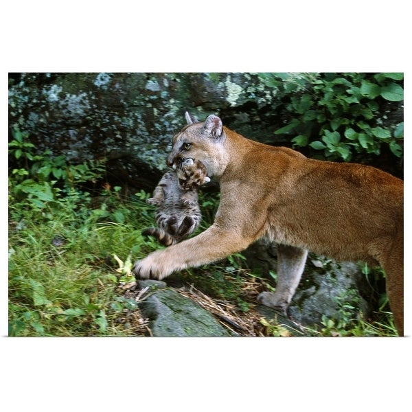 """""""Female cougar carrying cub in mouth, Minnesota"""" Poster Print"""