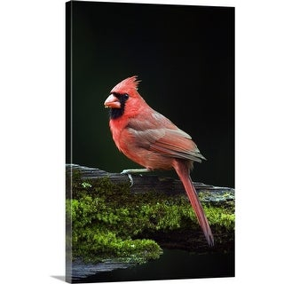 Shop Quot Male Northern Cardinal Cardinalis Cardinalis On A