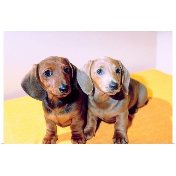 Shop Poster Print Entitled Dachshund Puppies Multi Color Free