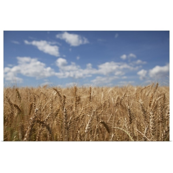 """""""Landscape of wheat field with clouds in sky"""" Poster Print"""