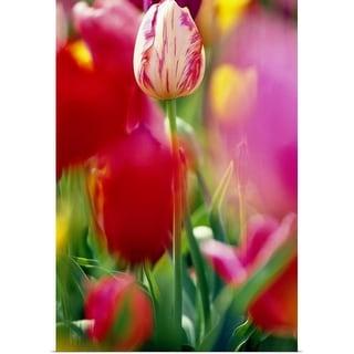 """""""Tulip Flowers In Bloom"""" Poster Print"""