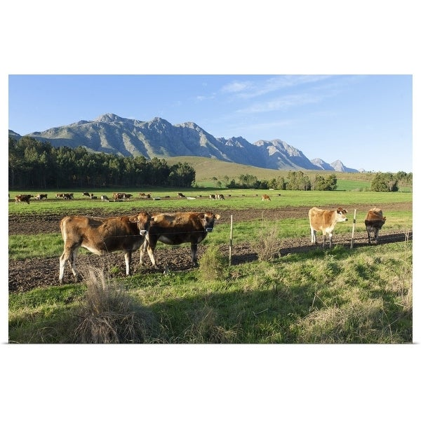 """""""Cows grazing in the pastures of a Greyton Farm, Overberg, South Africa"""" Poster Print"""