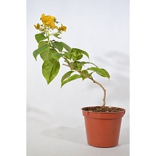 9GreenBox - California Gold Bougainvillea - 3'' Pot