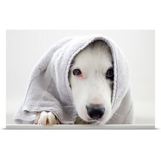 Poster Print entitled Border Collie wrapped in a towel