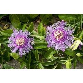 9Greenbox - Maypop Purple Passion Flower Plant (Passiflora Incarnata)