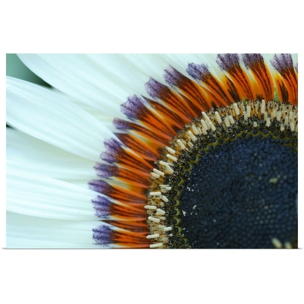 """Close up of sunflower at Van Dusen Botanical Garden, Vancouver."" Poster Print"