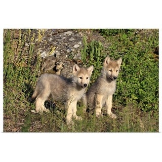 """""""Gray wolves in the meadow"""" Poster Print"""