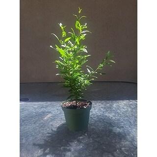 Dwarf Pomegranate Tree Container/Patio/Bonsai Size