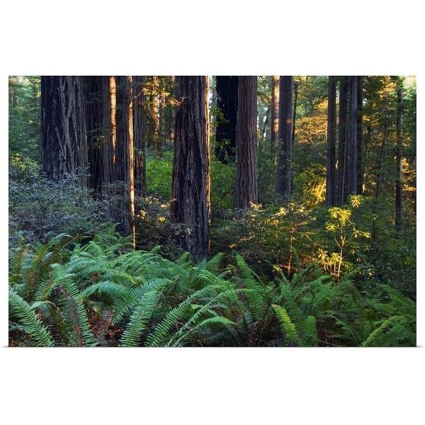 """Ferns growing among redwood trees, Redwood National Park, California"" Poster Print"