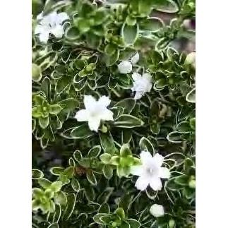 "Japanese Serissa Tree -""Tree of a thousand stars"" - 4"" Pot"