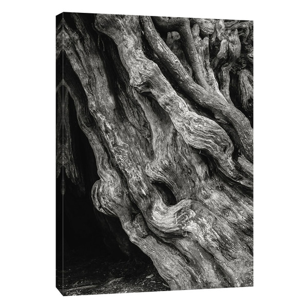 """PTM Images 9-105194 PTM Canvas Collection 10"""" x 8"""" - """"Kalaloch Big Cedar 4, Olympic National Park"""" Giclee Trees Art Print on"""