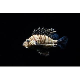 Lionfish Portrait Photograph Art Print