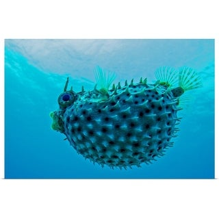 """Pufferfish"" Poster Print"