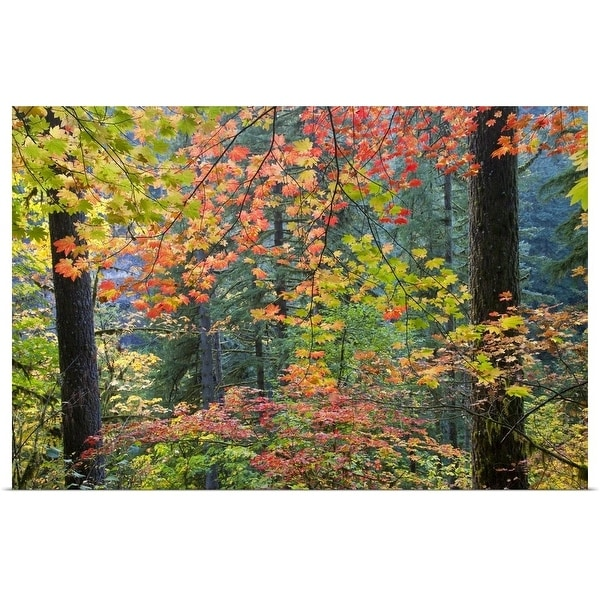 """Fall colors with vine maples, Silver Falls St. Park, Oregon"" Poster Print"