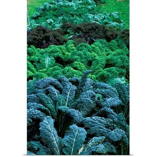 Poster Print entitled Different coloured Brassica (kale) growing in a row