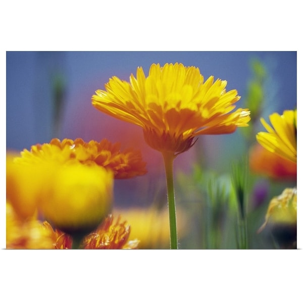 """""""Wildflowers in bloom, soft focus close up, Oregon, united states, """" Poster Print"""