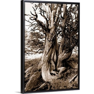 """Bristlecone pine grove at Ancient Bristlecone Pine Forest, California"" Black Float Frame Canvas Art"