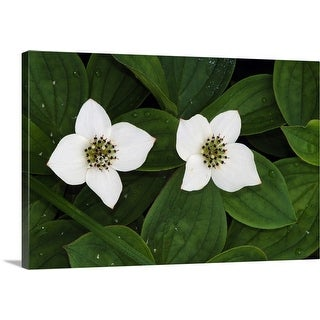 """""""Bunchberry flowers (Cornus canadensis) in bloom, close up, Vermont"""" Canvas Wall Art"""