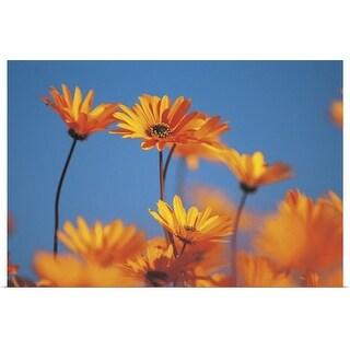 """Orange daisies"" Poster Print"