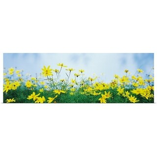 """""""Coreopsis flowers in a field"""" Poster Print"""