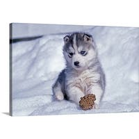 Premium Thick-Wrap Canvas entitled Siberian Husky puppy playing with a pine cone in the snow - Multi-color