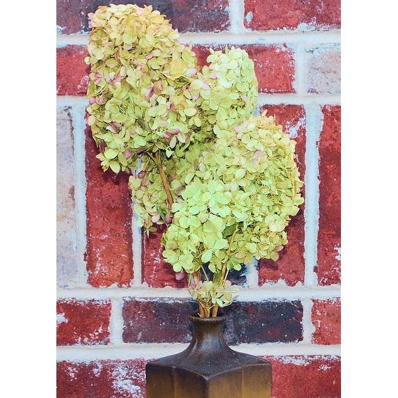 Shop Dried Hydrangea Flower Bunch Limelight 2 5in Heads 3 6