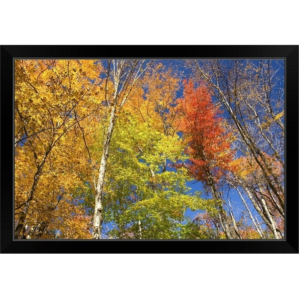 """Maple trees in autumn foliage, Green Mountains, Vermont"" Black Framed Print"